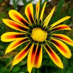 """Quad Colored Gazania"" by MidiMacroMan"