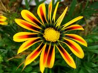 Quad Colored Gazania