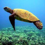 """Turtle Swimming"" by Thermocline"
