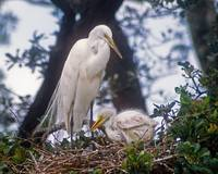 Great Egret Mother and Baby