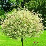 """""""Salix Bush :)"""" by Calen"""