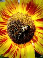 bee on a sun flower