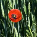 """""""Poppy In Field"""" by tomgnt"""