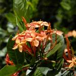"""Cayman Islands Plant Life : Orange Ixora"" by RonScott"