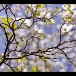 """Tiffany Dogwood (White Dogwood Flowers with Blue)"" by Kari-Gunter-Kremers"