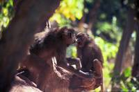 Lake Manyara Baboon Fight