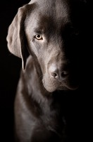 Sad Labrador Puppy