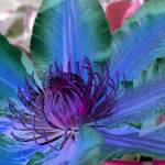 """""""Purple and Blue Clematis"""" by OregonArtGuy"""