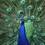 """""""Peacock"""" by Braeside"""