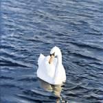"""""""mute swan"""" by PAULBRADLEY"""