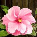 """Pink Hibiscus"" by CricketNoel"