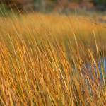 """Spartina grass"" by NOFOtog"