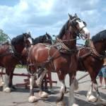 """""""Clydesdale Horses"""" by DawnMacIntyreKoebel"""
