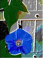 Blue Morning Glory 2