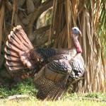 """Turkey"" by CynthiaMBarlow"
