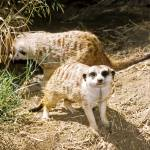 """Meerkat Animal Picture"" by kphotos"