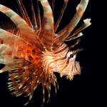 """Lionfish"" by bronco"