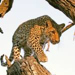 """Leopard on tree"" by MichaelPoliza"