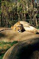 Lounging Liioness