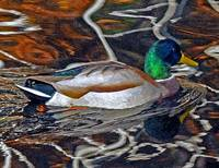 Painted Mallard II