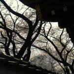 """sakura"" by s_issever"
