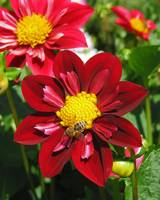 Red Dahlia and Bumblebee