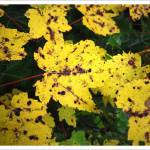 """Yellow Maple Leaves @ Whiskey Rapids"" by BRMurphy"