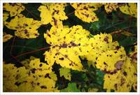 Yellow Maple Leaves @ Whiskey Rapids