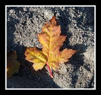 sandbox maple leaf