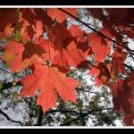 """red red red maple leaves"" by BRMurphy"