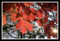 red red red maple leaves