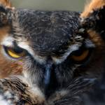 """""""Great Horned Owl"""" by BRMurphy"""