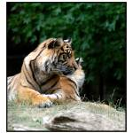 """Tiger!"" by BRMurphy"