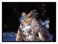 Great Horned Owl Napping