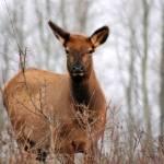 """Elk II"" by BRMurphy"