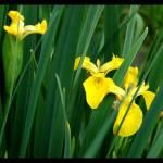 """Iris"" by BRMurphy"