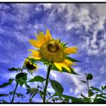 """Ragged Sunflower HDR"" by BRMurphy"