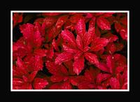 Japanese Spurge_red