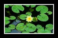 Water Lilly #2