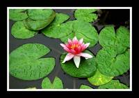 Water Lilly #1