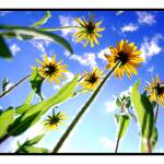"""""""black eyed susans from below"""" by BRMurphy"""