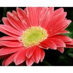 """Gerbera Daisy"" by BRMurphy"
