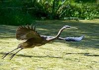 Blue Heron takes flight
