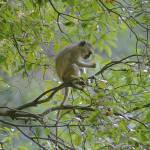 """Isles of Siankaba Vervet Monkey gloriousjourneypho"" by gloria_garrett"