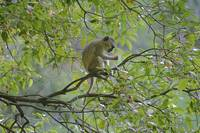 Isles of Siankaba Vervet Monkey gloriousjourneypho