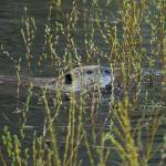 """Yellowstone 2009 Beaver in the Reeds gloriousjourn"" by gloria_garrett"