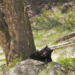 """Yellowstone 2009 Brown Bear Cub with Momma gloriou"" by gloria_garrett"