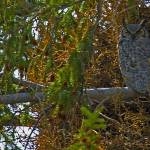 """Yellowstone 2009 Great Horned Owl gloriousjourneyp"" by gloria_garrett"