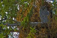Yellowstone 2009 Great Horned Owl gloriousjourneyp