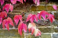 Red Ivy on Ancient Wall